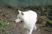 Arctic Wolf at Servion Zoo near Lausanne, Switzerland