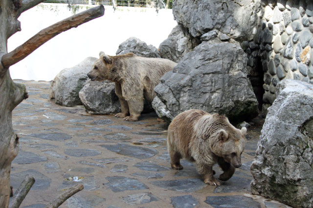 Brown Bears at Servion Zoo near Lausanne, Switzerland