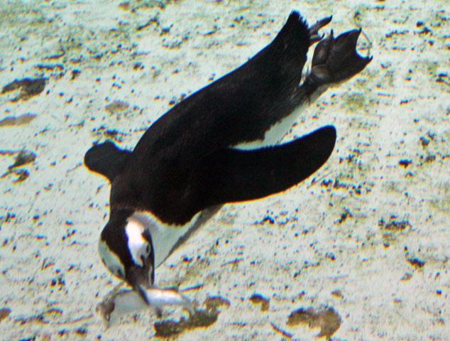 Penguin in the Servion Tropiquarium near Lausanne, Switzerland