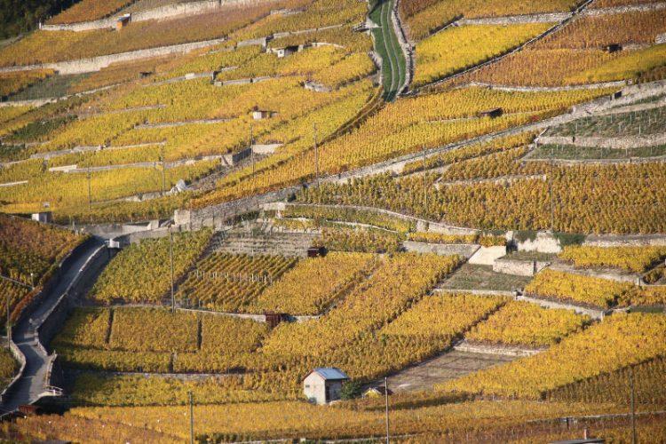 Autumn Vineyards near Château d'Aigle Castle, Switzerland