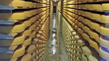 Gruyère Cheese Rounds in the Maturity Cellars in Switzerland