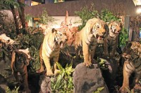 Stuffed Tigers in the Natural History Museum in Geneva