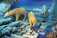 Polar Bears in the Natural History Museum in Geneva