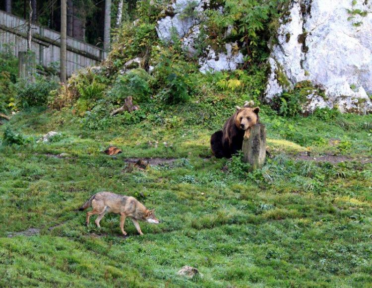 Bears and Wolves Share an Enclosure in the Juraparc, Switzerland