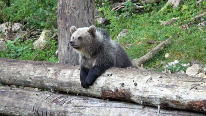 Bear Cub in the Jurapark near Vallorbe, Switzerland