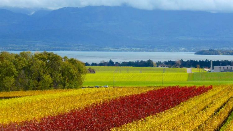 Luins Vineyards in utumn
